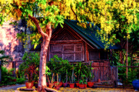 Golden Flower Tree and smalll cabin issan Thailand