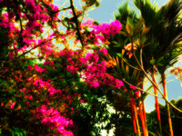 pink bougainvillea flowers and red bamboo